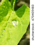 Small photo of dew drop on a green orach leaf