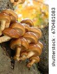 Edible Mushroom Pholiota Namek...