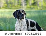 Dog English Pointer Hunting On...