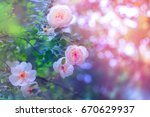 white roses in dew drops....   Shutterstock . vector #670629937