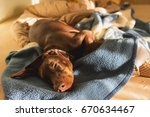 Young Brown Red Doberman...