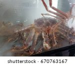 alaska king crab or taraba sea... | Shutterstock . vector #670763167