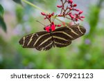 Small photo of Zebra Longwing Butterfly (Heliconius Charitonia)