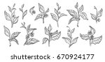 set of tea bush branches with... | Shutterstock .eps vector #670924177