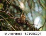 Pin Tailed Whydah Bird Vidua...
