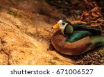 Small photo of African pygmy goose Nettapus auritus is found in Central to southern Africa and Madagascar