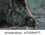 closeup of wild boar head at... | Shutterstock . vector #671096977