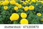garden marigold yellow.   Shutterstock . vector #671203873