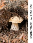 Small photo of Young mushroom porcini in a pine forest