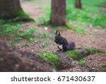 Dark Brown Squirrel