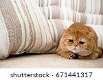 kitten scottish fold sitting on ... | Shutterstock . vector #671441317