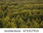 Evergreen Pine Tree Tops