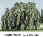 big tree in lisbon  portugal.   Shutterstock . vector #671529733