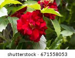 Red Rose On The Green Branch I...