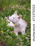 Small photo of Funny Young Husky Dog Sit In Green Grass In Summer Park Outdoor. Isabella color