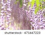purple wisteria blossoms at... | Shutterstock . vector #671667223