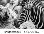 zebra in the open zoo | Shutterstock . vector #671708467