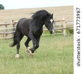 Small photo of Amazing black stallion running on pasturage in summer