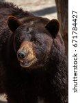 Small photo of American black bear (Ursus americanus).