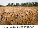 barley field  blur  close up of ...   Shutterstock . vector #671790043