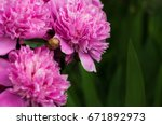 pink peonies in the garden.... | Shutterstock . vector #671892973