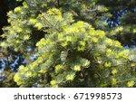 Small photo of Beautiful Abies concolor (Gordon & Glend.) Lindl. ex Hildebr or California White Fir, Colorado Fir, Low's Fir, White Fir.