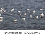 Seagulls Floating On The Water...