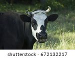 Cow On A Meadow Black Cow With...