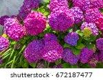 hydrangeas  beautiful bush of... | Shutterstock . vector #672187477