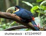 toucan  ramphastos dicolorus ... | Shutterstock . vector #672249907