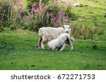 Mother Sheep Breastfeeding Her...