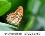 Small photo of Philaethria Dido, tropical butterfly On green leaves