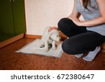 Stock photo puppy of golden retriever walks to toilet on absorbent diaper concept training dogs cine 672380647