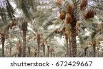 Palm Trees With Ripe Dates