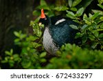 horned guan  oreophasis... | Shutterstock . vector #672433297