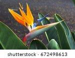bird of paradise flower ... | Shutterstock . vector #672498613