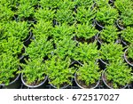 Small photo of False heather or Elfin herb