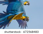 Blue And Gold Macaw  Ara...