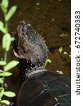 Small photo of Alligator Snapping Turtle