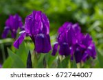bouquet of flowers irises on... | Shutterstock . vector #672744007