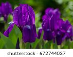 bouquet of flowers irises on... | Shutterstock . vector #672744037