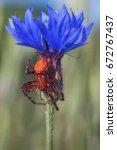 Small photo of Strawberry Spider or Orange Wheelweaving Spider - Araneus alsine - male