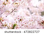 cherry blossoms in full bloom | Shutterstock . vector #672822727