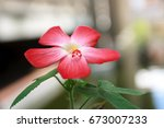 Small photo of Abelmoschus moschatus is an aromatic and medicinal plant native to India in the Malvaceae family.Different parts of the plant have uses in Ayurveda herbal medicine.