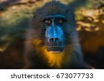 Portrait Of African Mandrill I...