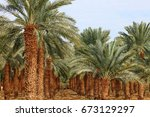 date palm trees plantation. | Shutterstock . vector #673129297