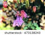 Aquilegia Vulgaris Flower With...