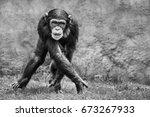 Blackand White Young Chimpanze...