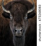 Small photo of Closeup Frontal Portrait of an Adult American Bison