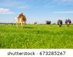 Cows Grazing In A Green Meadow...